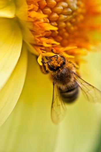 Geelong Botanical Gardens bee Geelong Australia Honey Flower Flower Bee Flower Backgrounds Insect Close-up Bee Honey Bee Pollination Bumblebee Pollen Honeycomb Symbiotic Relationship Buzzing Beehive