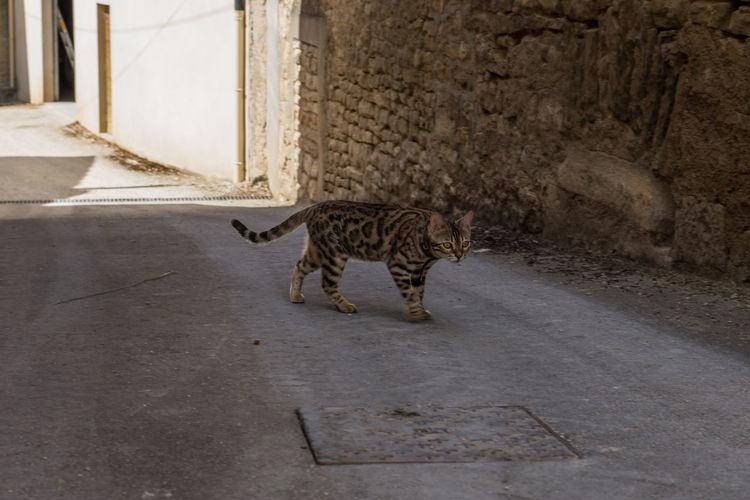 Cat walking on footpath