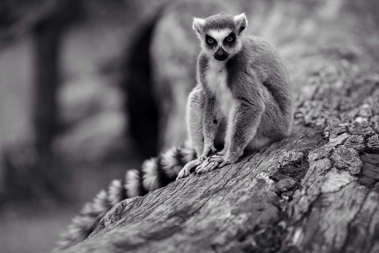 Portrait of lemur sitting on log