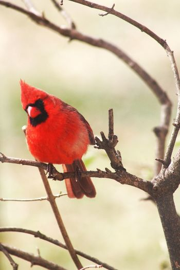 Cardinal Bird Beak Close-up Branch Red Nature No People Angry Birds