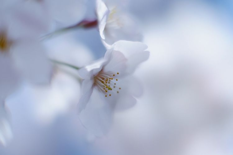 Blur Sakura Cherry Blossoms Macro Nature Macro_flower Flower Fragility Nature Beauty In Nature White Color Freshness Growth Petal Flower Head Close-up Blooming Bokeh Light And Shadow Fujifilm FUJIFILM X-T10 Fujifilm_xseries XF56mmAPD MCEX-16 Pro Neg. Hi The Purist (no Edit, No Filter)