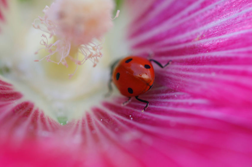 Animal Themes Coccinella Coccinelle Fragility Freshness Insect Ladybug One Animal Petal Pink Color Single Flower
