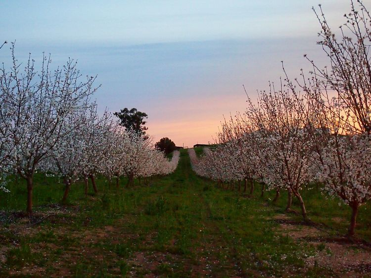 Pastel Power Fieldscape Orchard In Bloom Flower Power California Agriculture Rurex Countryside Glamour. For The Love Of Trees ~ Almond Orchardvia Fotofall