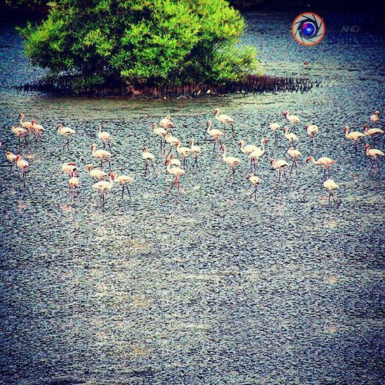 FLAMINGOS WANDERING AT VASHI CREEK 🌞 Birds Flamingos Birdsofinstagram Naturelover Vashi Vashicreek Canon Sigmalens Indianphotographer Nature @ig_asia Photographers_of_india Instapic Instapicoftheday @streets.of.india Randompic Mallu Mallugram @indiabestpic Streetphotography _soi Instabirds Wassupindia Worldbestgram Ig_photoclub @ig_photoclub Click_india_click Thingstodoinmumbai @things2doinmumbai