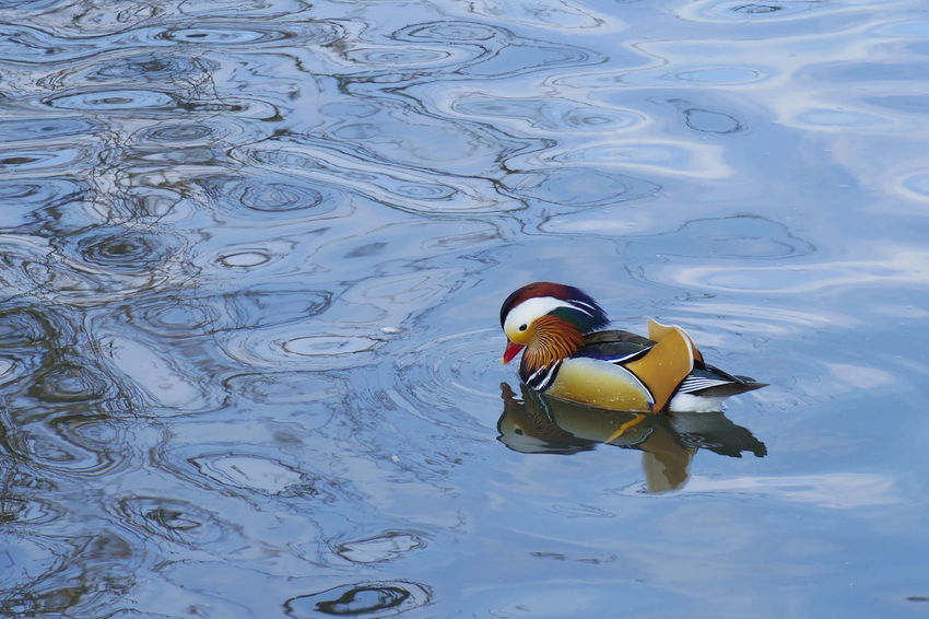Bird Animal Themes One Animal Water Swimming Duck Animals In The Wild Lake Water Bird Animal Wildlife Waterfront No People Nature Beauty In Nature Mandarin Duck Day Beak Outdoors Close-up Mandrin Duck 弘前公園 Park Ducks Winter Animals In The Wild