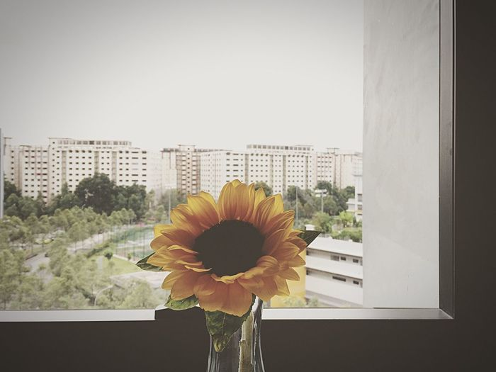 Sunflower Window View