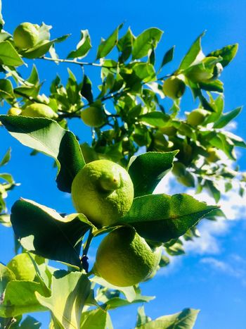 Green lemons on branches Sky Leaves Lemon Healthy Eating Fruit Plant Part Growth Leaf Food And Drink Sky Food Green Color Tree Nature Freshness Fruit Tree Branch Close-up Blue