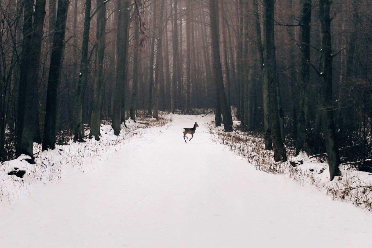 Deer Running On Snow Covered Road In Forest
