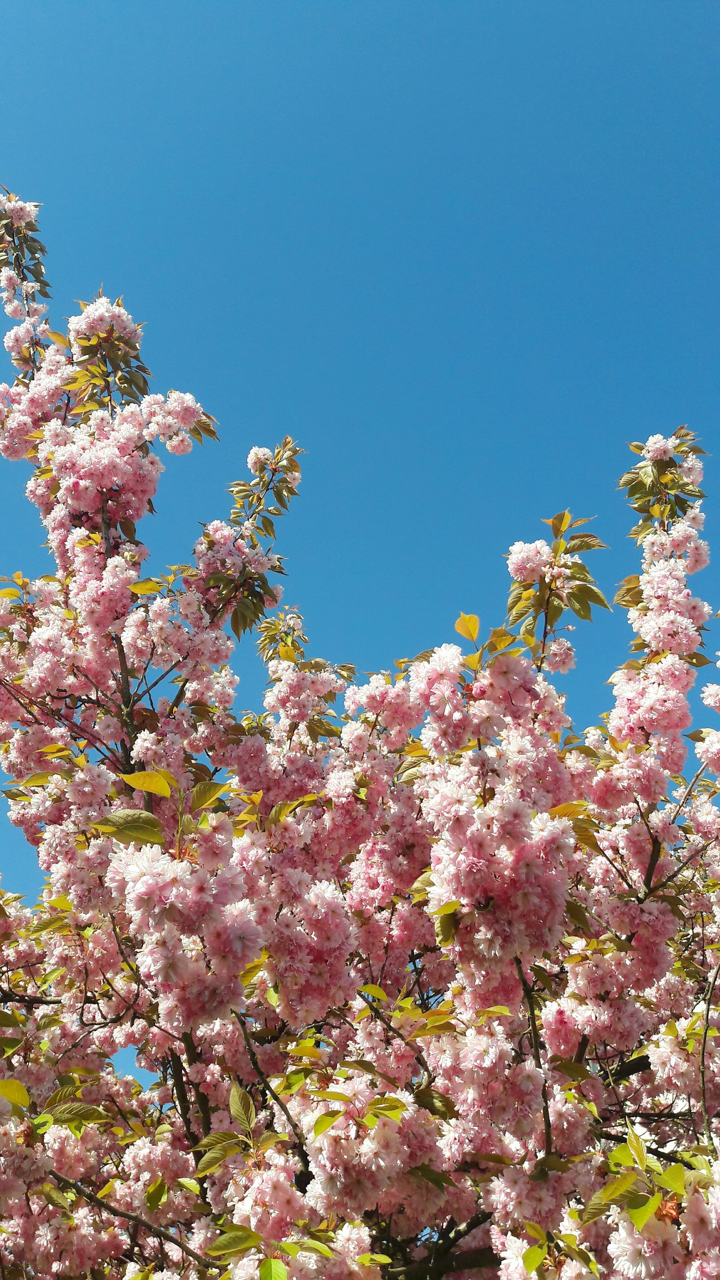 flower, clear sky, low angle view, tree, freshness, growth, beauty in nature, fragility, blossom, branch, blue, cherry blossom, nature, cherry tree, blooming, in bloom, springtime, copy space, fruit tree, day
