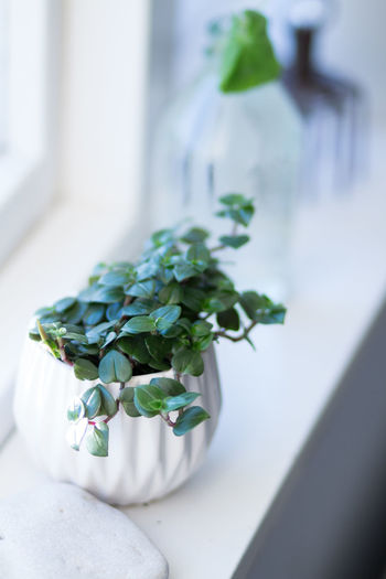Beauty In Nature Close-up Day Flower Flower Head Flower Pot Flowering Plant Focus On Foreground Freshness Green Color Growth Houseplant Indoors  Leaf Nature No People Plant Plant Part Potted Plant Selective Focus White Color Window Window View