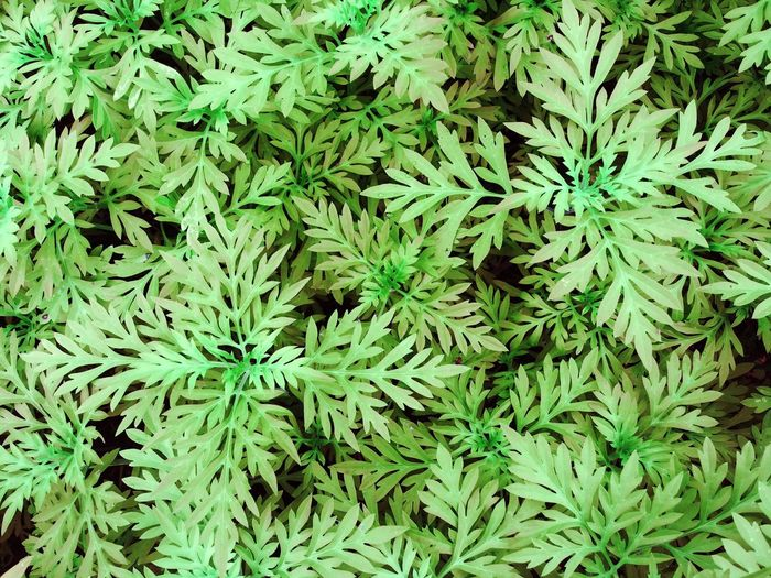 Full Frame Backgrounds Green Color Plant Leaf Growth No People Beauty In Nature Plant Part Marijuana - Herbal Cannabis Field High Angle View Nature Medicine Close-up Healthcare And Medicine Day Natural Pattern Outdoors Land