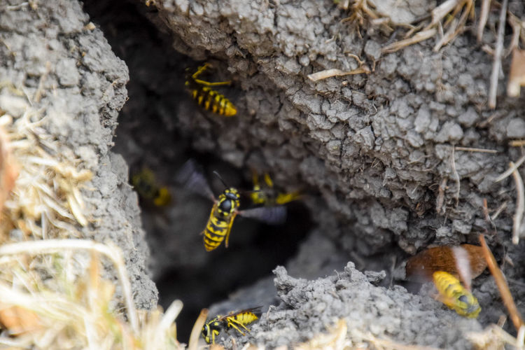 Vespula vulgaris. Destroyed hornet's nest. Drawn on the surface of a honeycomb hornet's nest. Larvae and pupae of wasps. vespula, vulgaris, wasp, mink, nest, fly, destroyed, gutted, killed, collapsed, dead, dismantled, pulled, larvae, pupae, death, excavated, sting, predator, forager, insect, striped, hymenoptera, animals, colony, insects, macro, nature, poisonous, summer, stinger, antenna, filigree, stinging, bee, hexagon, hornet, bug, wasps, chew, wing, fragility, common, pollen, laying, wood, paper, honey, arthropoda, vespiary Animal Themes Animal Wildlife Animals In The Wild APIculture Bee Beehive Close-up Day Fragility Honeycomb Insect Nature No People One Animal Outdoors Vespula Vespula, Vulgaris, Wasp, Mink, Nest, Fly, Destroyed, Gutted, Killed, Collapsed, Dead, Dismantled, Pulled, Larvae, Pupae, Death, Excavated, Sting, Predator, Forager, Insect, Striped, Hymenoptera, Animals, Colony, Insects, Macro, Nature, Poisonous, Summer,  Vulgaris Wasp