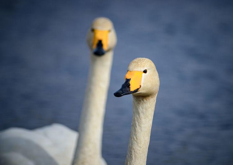 Close-up of swan in lake