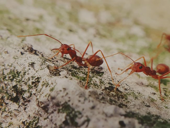 red ants in rytham EyeEm Selects Red Insect Ant Close-up