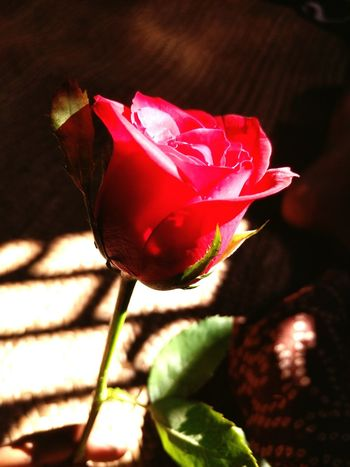 Love Rosé Romance Roses Flower Freshness Fragility Petal Red Flower Head Growth Close-up Stem Springtime Beauty In Nature Single Flower Bud In Bloom Vibrant Color Selective Focus Nature Plant Blossom Botany
