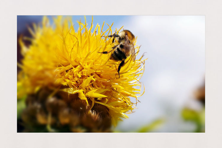 World Bee Day Grossköpfige Flockenblume Weltbienentag World Bee Day Bee Yellow Flower Insect Close-up