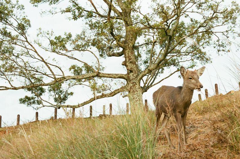 Deer Nara