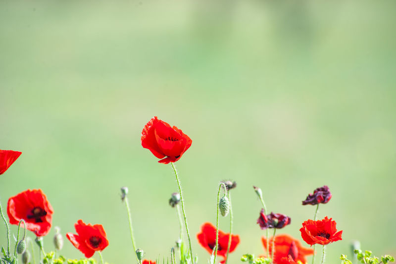 Close-up of red poppies growing outdoors