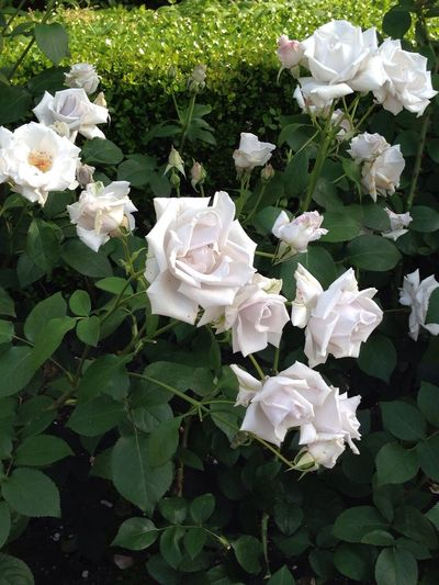 Flower 薔薇 天王寺公園 マダム高木
