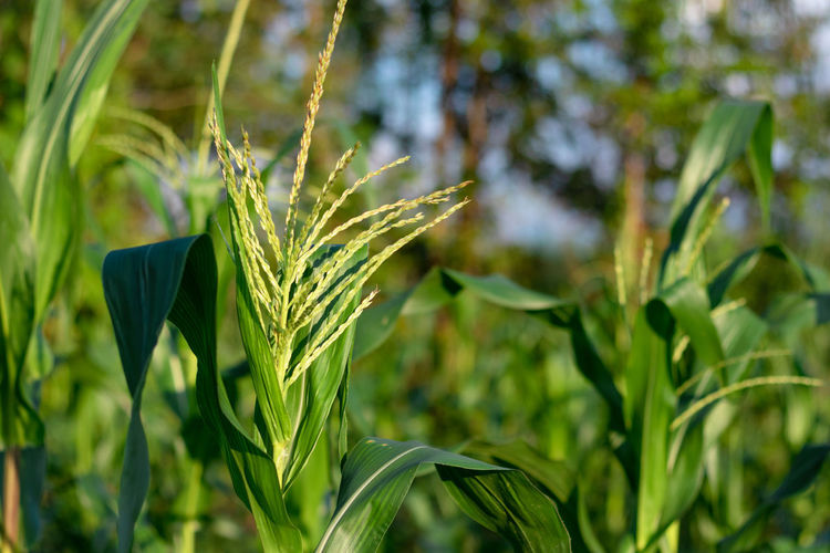 Close-up of crops growing on field