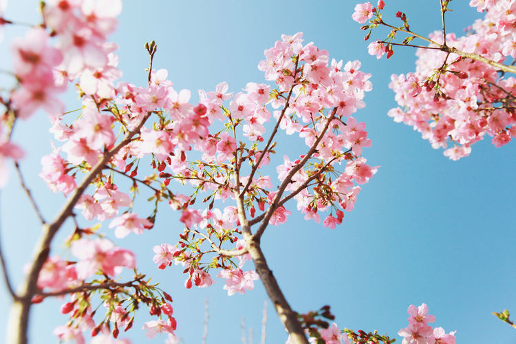 flowers Photography Photo Forest Travel Photography Travel Nature Nature Photography Nature_collection Naturephotography Nature_perfection Flowers Flowers,Plants & Garden Flowers, Nature And Beauty Flowers_collection Tree Flower Branch Flower Head Springtime Pink Color Blossom Sky Close-up