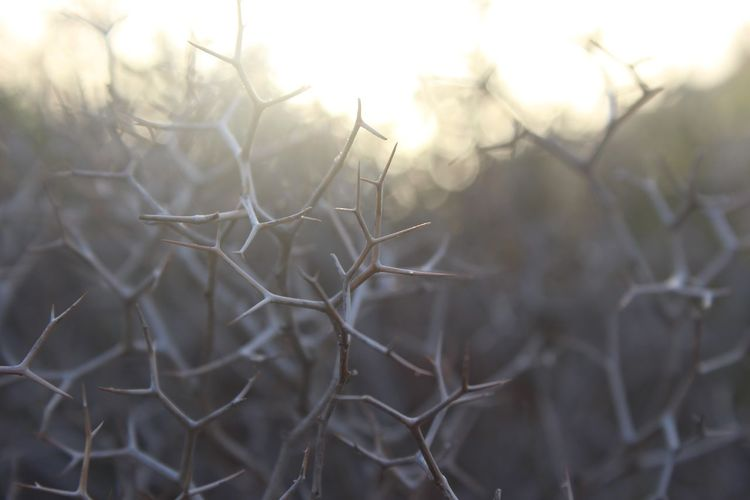 Branches Nature Beauty In Nature Close-up Day Intersting Nature No People Outdoors Selective Focus Shapes And Forms Shapes Of Nature Thorns Thorns And Beauty Thorny Plant White Wood - Material