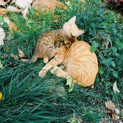 Kitties😻❤️ Domestic Animals Pets Animal Themes Mammal High Angle View One Animal Domestic Cat Relaxation Eyes Closed  Grass Sleeping Day No People Lying Down Feline Outdoors Cuddling Cuddling Cat Cuddling Cats Kitties Family Love EyeEmNewHere Beauty In Nature