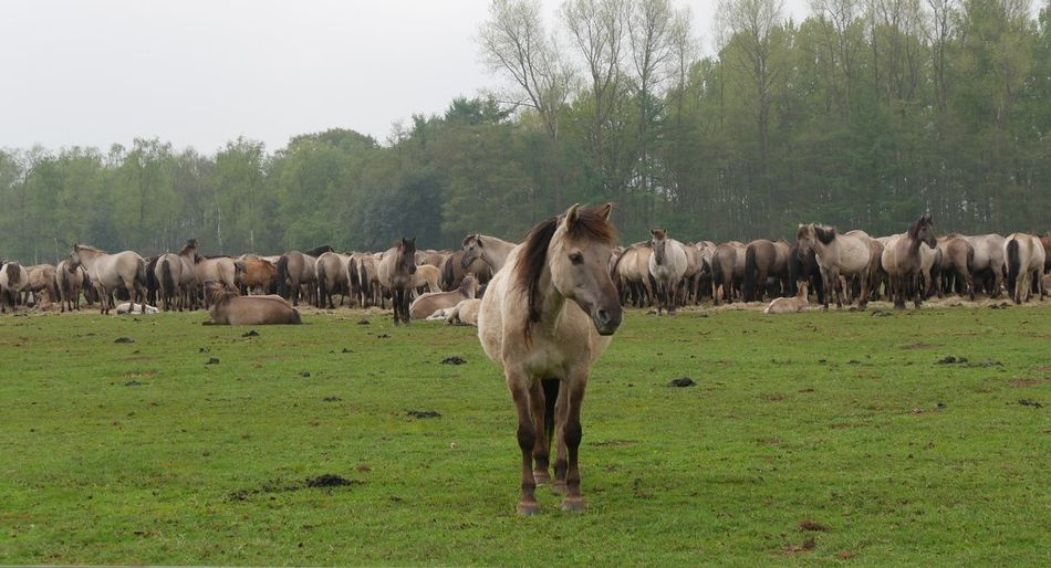 Animal Themes Field Green Color Horses Landscape Large Group Of Animals No People Wildhorses Horses On A Meadow Horse Looking At Camera