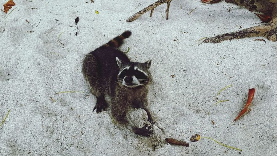 High angle view of raccoon on beach of manuel antonio national park