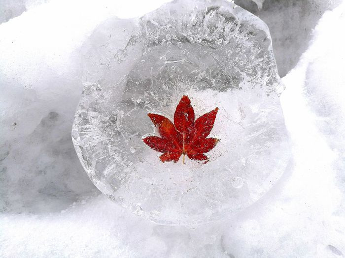Close-up of maple leaf on ice