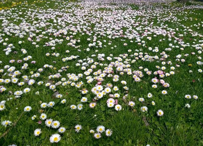 Serbia Spring Has Arrived Abundance Beauty In Nature Daisy Field Flower Flower Head Flowerbed Flowering Plant Fragility Freshness Grass Growth Land Nature No People Outdoors Plant Spring Flowers Spring Is Coming  Springtime Vajdaság Vojvodina