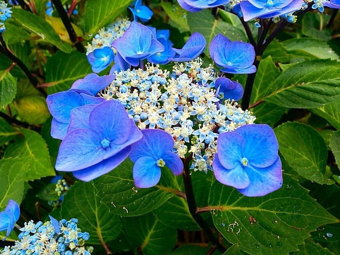 Nature On Your Doorstep Hydrangea Blue Flowers Eye Em Nature Lover