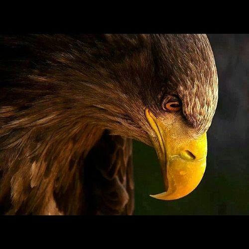 Kartal Eagle Animals