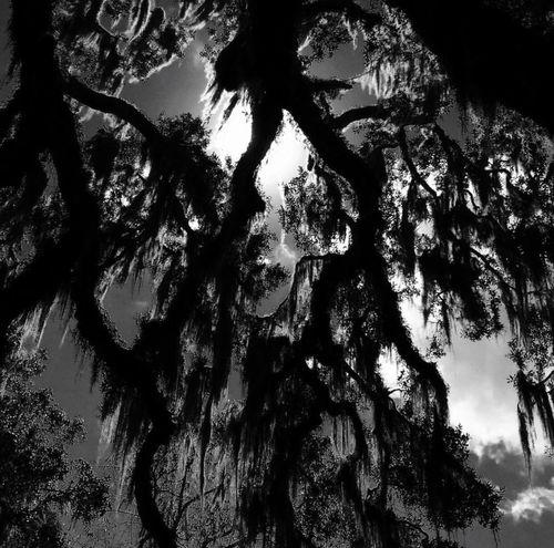 Nature Full Frame Tree Outdoors Oak Live Oak Beauty In Nature Blackandwhite Blackandwhite Photography IPhoneography Iphoneonly Iphonephotography Fairchild Oak Bulow Creek State Park Ormond Beach Florida
