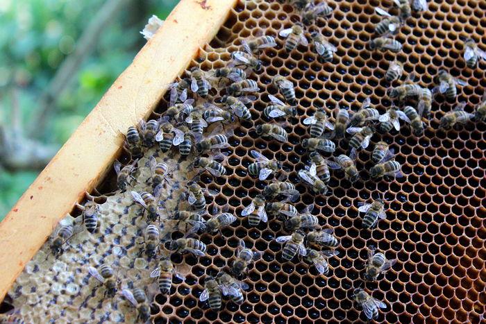 Bees Honey Honig Honigbiene Imkerei Nature Waben