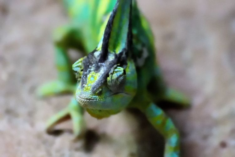Wildlife and forestry Animal Animal Body Part Animal Eye Animal Head  Animal Scale Animal Themes Animal Wildlife Animals In The Wild Close-up Day Focus On Foreground Green Color Lizard Looking Away Nature No People One Animal Outdoors Reptile Selective Focus Vertebrate Zoology