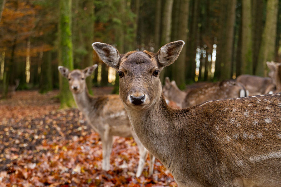 Adorable Animal Themes Animals In The Wild Close-up Curiosity Cute Day Deer Fall Herbst Leafes And Trees Looking At Camera Mammal Nature No People Outdoors Portrait Sweet The Great Outdoors - 2017 EyeEm Awards