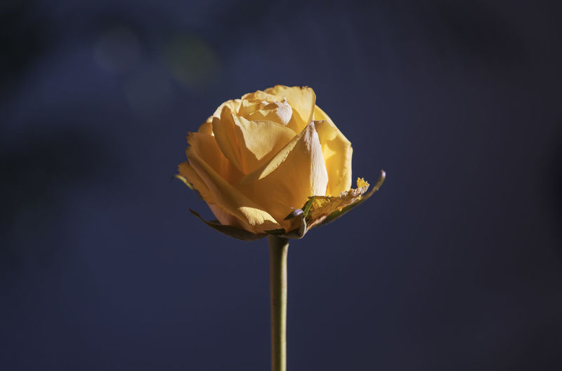 Close-up of yellow rose blooming against blue background