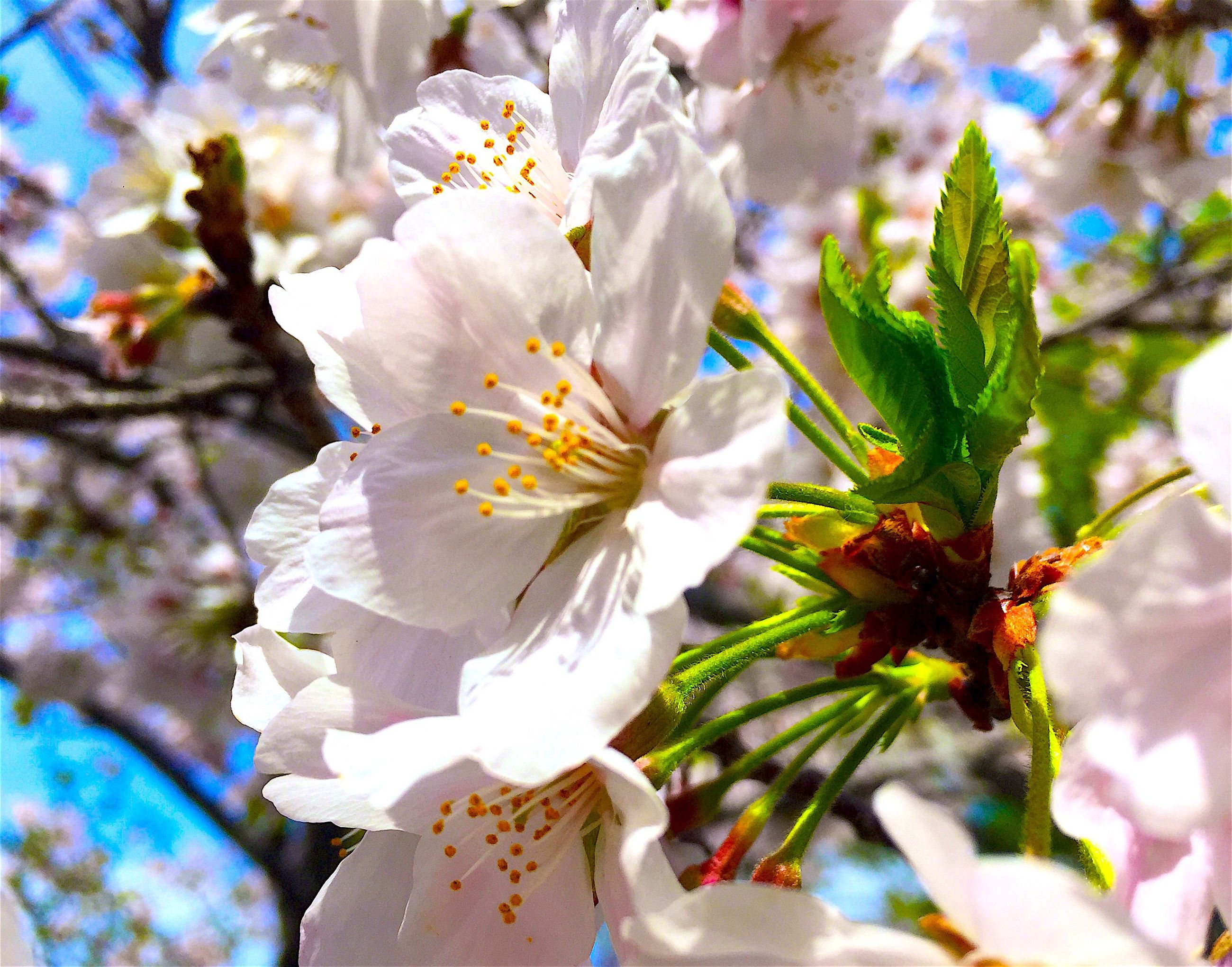 flower, freshness, petal, fragility, growth, focus on foreground, flower head, close-up, beauty in nature, white color, nature, blooming, in bloom, pollen, blossom, plant, stamen, day, outdoors, springtime