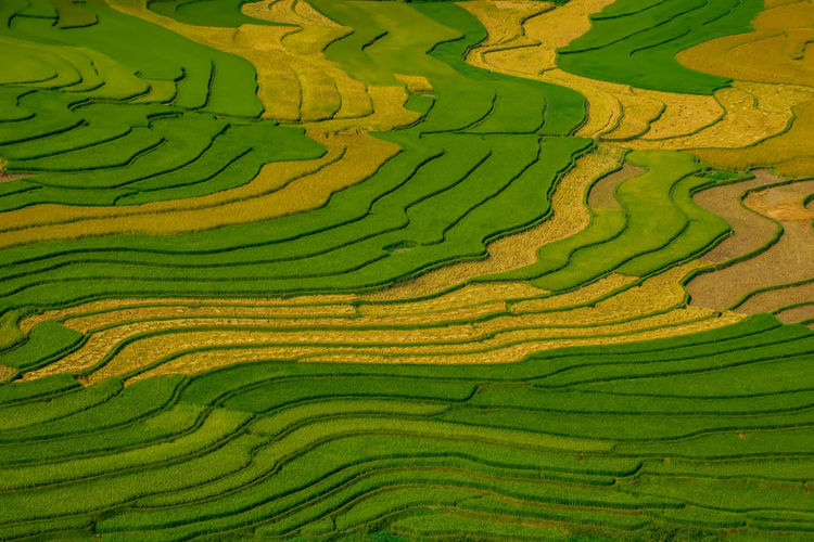 Full Frame Shot Of Rice Paddy