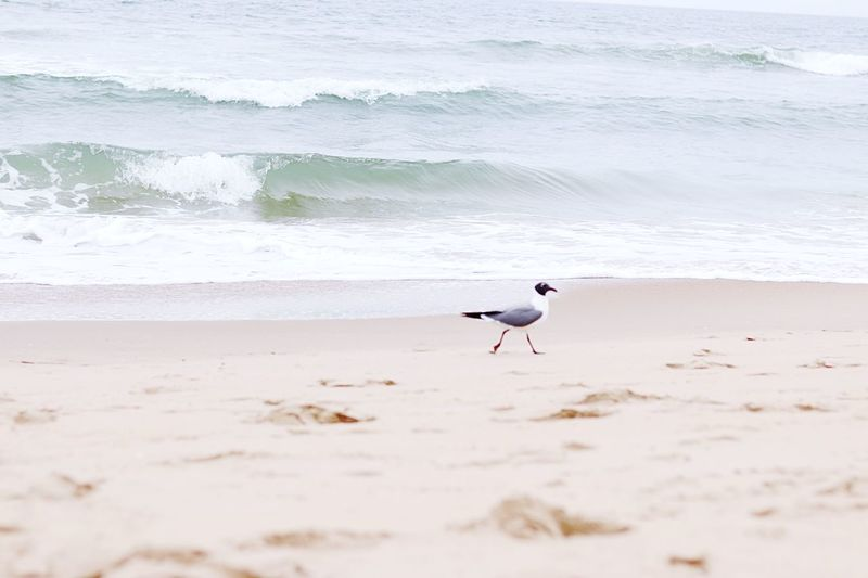 Seagull EyeEm Selects Bird Animal Themes Beach Sea Animals In The Wild Animal Day Outdoors Nature Water Seagull Sand One Animal No People Beauty In Nature Motion Vertebrate Land Wave Animal Wildlife