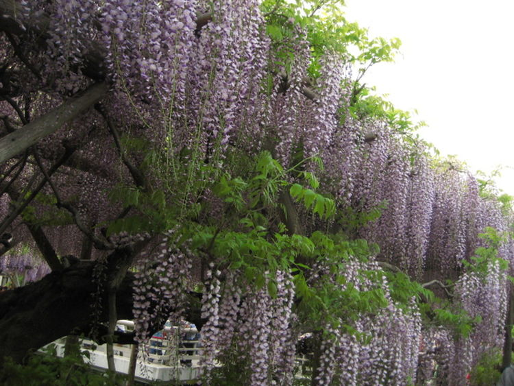 Beauty In Nature Blooming Blossom Day Flower Green Color In Bloom Nature No People Purple Tree Wisteria 藤の花