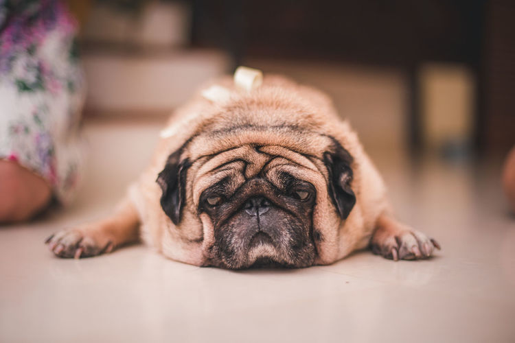 Living the Pug Life. One Animal Animal Themes Animal Mammal Dog Canine Domestic Animals Domestic Pets Relaxation Indoors  Lying Down Pug No People Vertebrate Lap Dog Close-up Resting Portrait Flooring Animal Head  Small Napping Focus On Foreground The Portraitist - 2019 EyeEm Awards