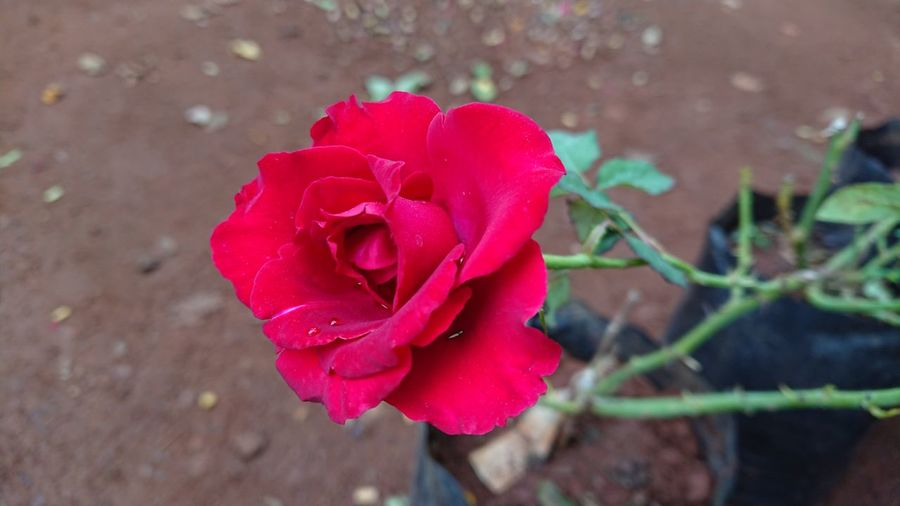 Red rose with Droplets Flower Petal Rose - Flower Nature Red Plant Fragility Flower Head Beauty In Nature Love Growth Pink Color No People Freshness Day Outdoors Close-up Springtime Blooming Exotic Rose Rosé Flower Photography Sony Xperia Xz1 Nwin Photography Sony Xperia Photography