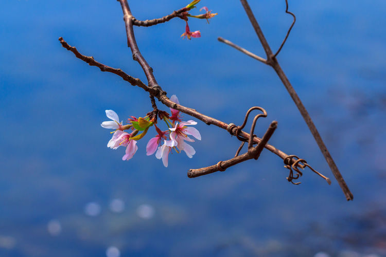 Pink Cherry Blossoms Beauty In Nature Blossom Branch Cherry Cherry Blossoms Flower Flowers Fragility Freshness Growth Lake Nature No People Outdoors Pink Flower Sakura Sky Tree Twig Water