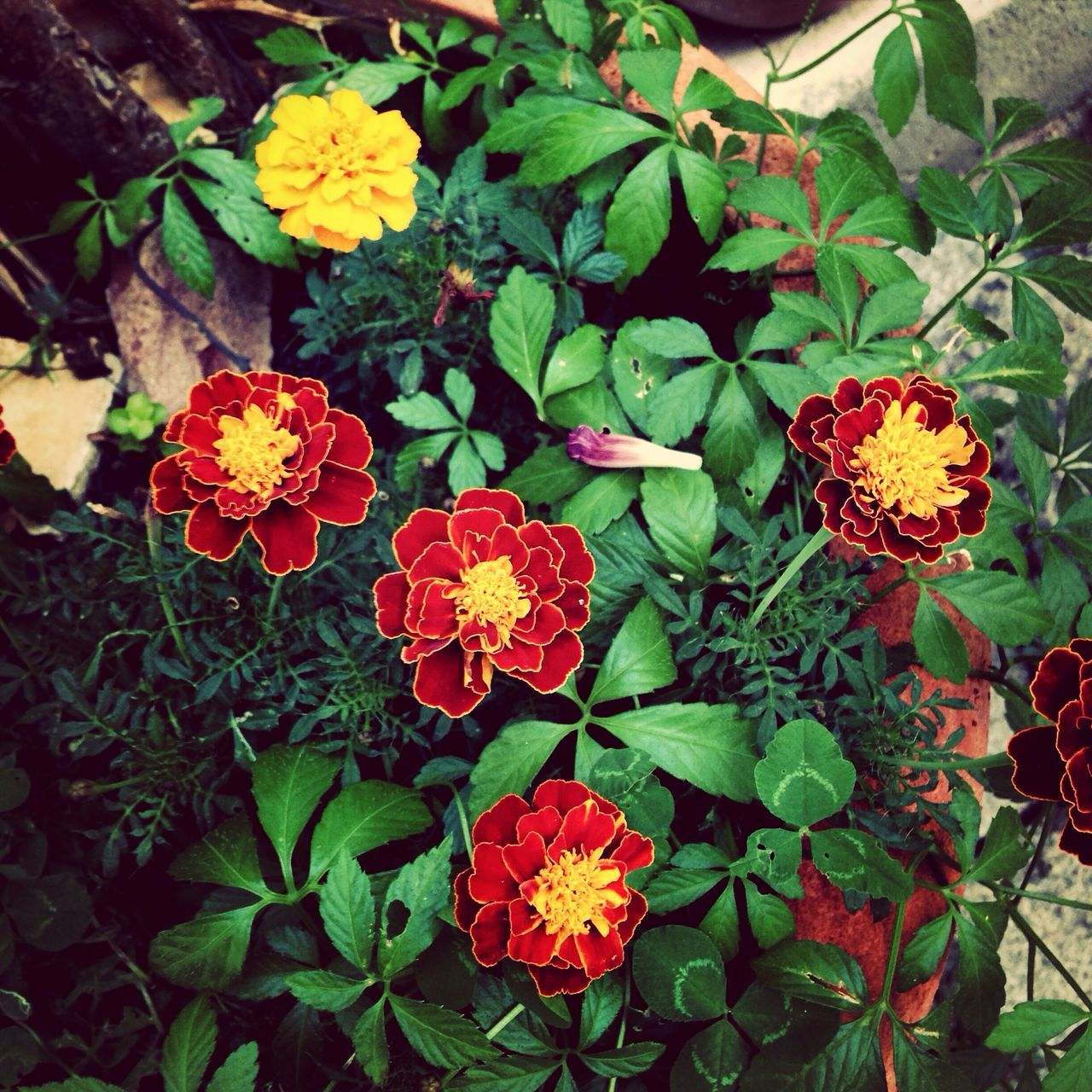 flower, growth, beauty in nature, freshness, fragility, nature, petal, leaf, plant, flower head, blooming, park - man made space, outdoors, zinnia, green color, high angle view, no people, day, lantana camara, close-up