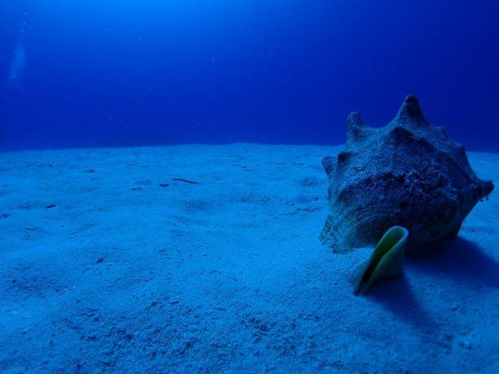 Conch Shell In Sea