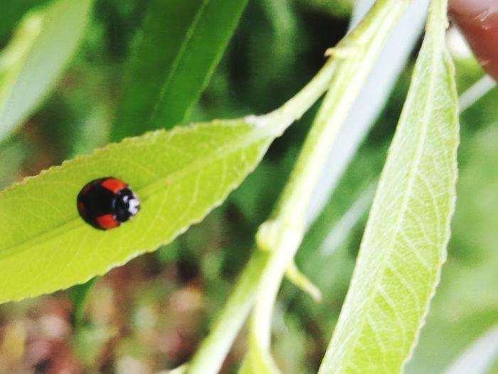 bug Ladybug