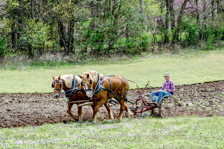 a senior man demonstrates during plow days in Buchanan MI USA, how to plow a field the old fashioned way with horse and plow Job Farmer Field Horses Man Old Fashioned Way Rural Work Day Domestic Animals Equine Farming Field Grass Horse Horse And Plow Livestock Mammal Nature Outdoors Outdoors Photograpghy  Rural Scene Senior Adult