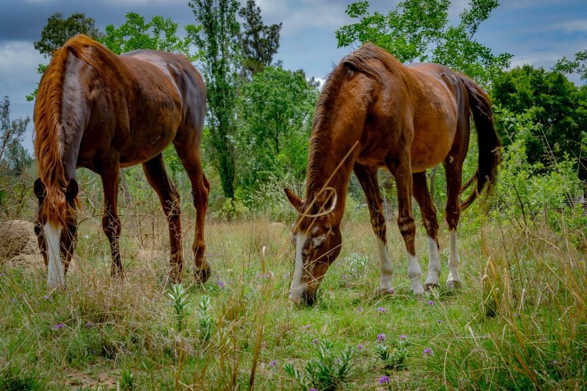 It's happy Horses On A Meadow day. Horse Domestic Animals Animal Themes Mammal Livestock Field Day Outdoors South Africa Gauteng Grazing Horse Photography  Standing No People Grazing Tree Togetherness Grass Beauty In Nature Sky